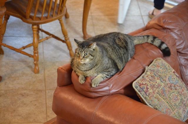 My Big Fat Cat Animal Planet